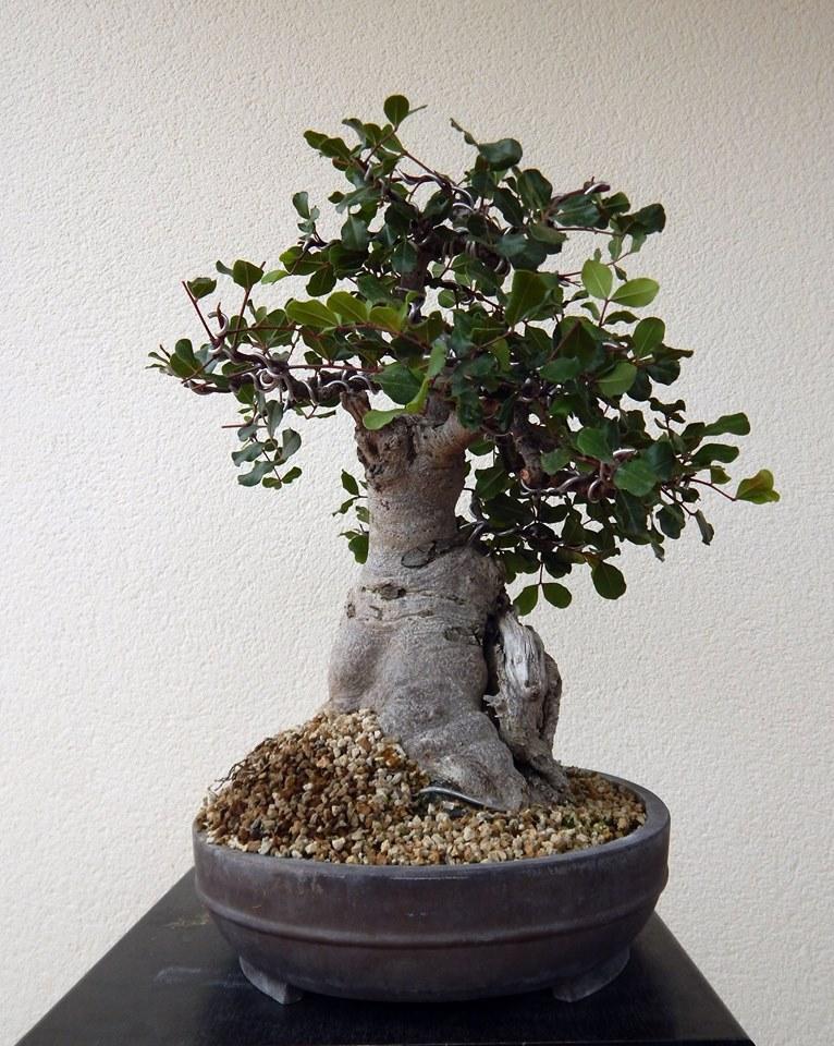 Algarrobo (Ceratonia siliqua ) 2 38864810