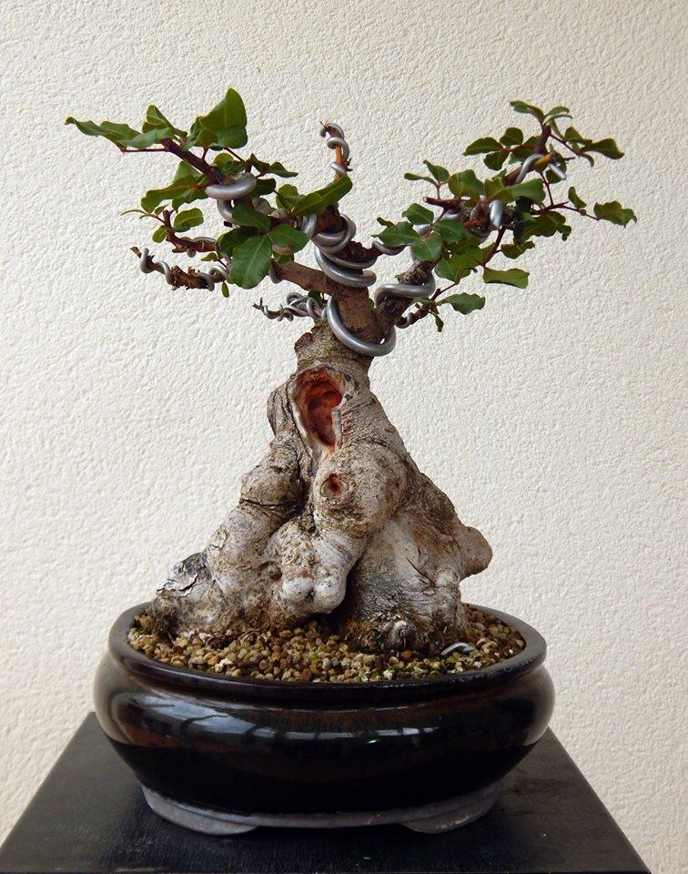 Algarrobo (Ceratonia siliqua) 1 38891210