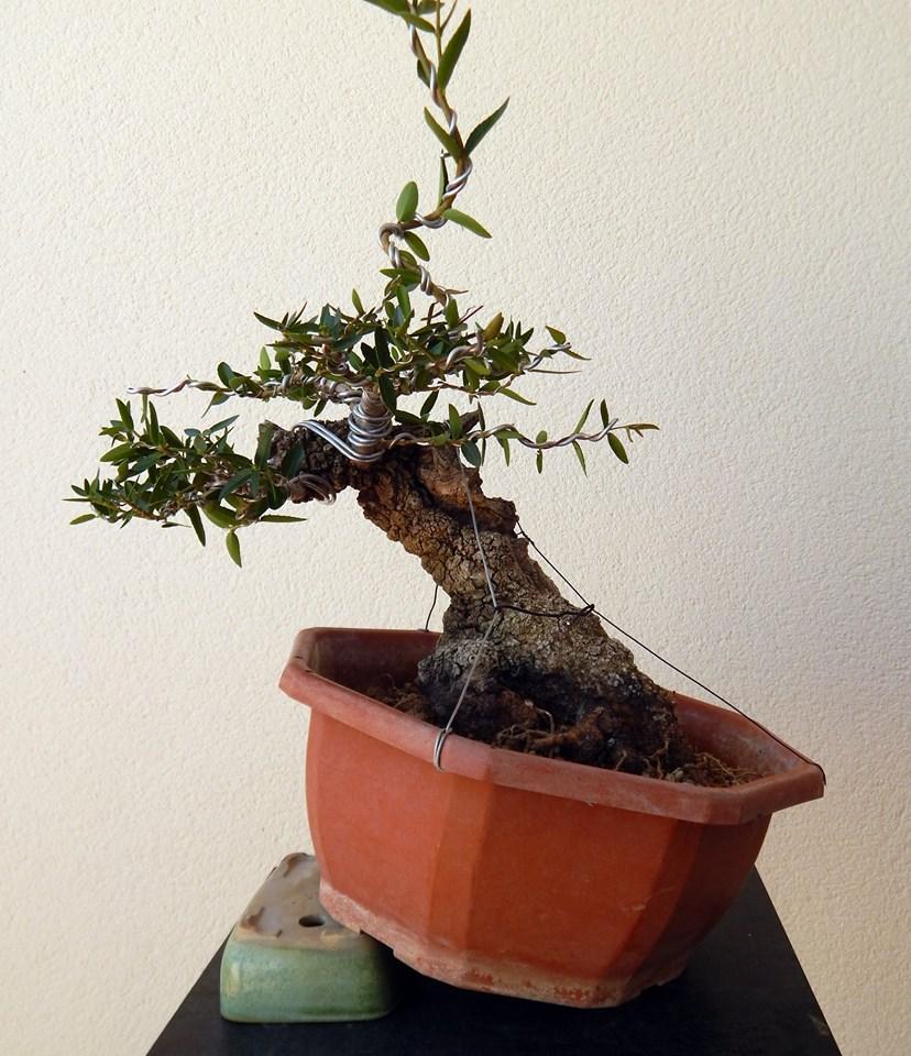 Labiernago ( Phillyrea latifolia ) 38921010
