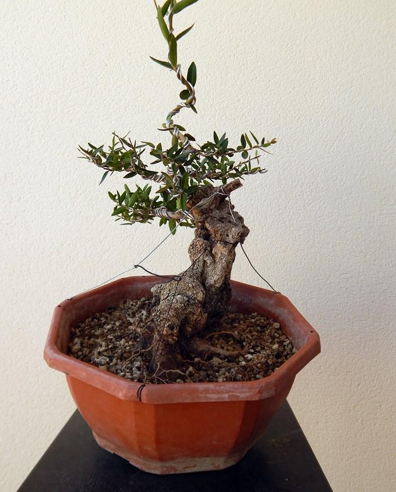 Labiernago ( Phillyrea latifolia ) 38926410