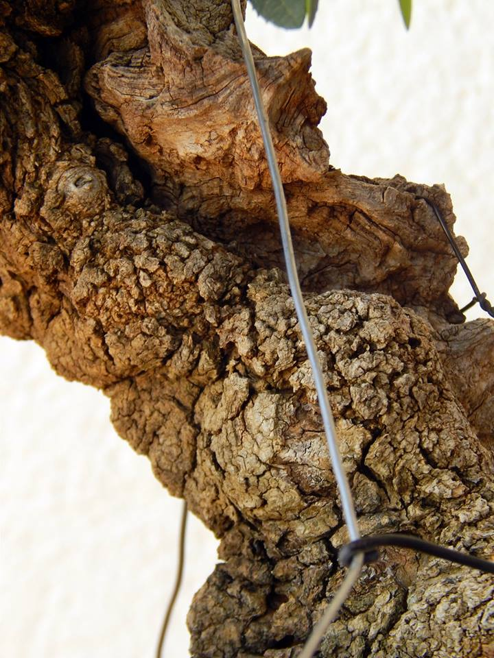 Labiernago ( Phillyrea latifolia ) 38938410