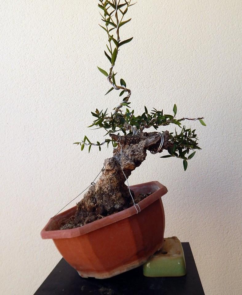 Labiernago ( Phillyrea latifolia ) 38997010