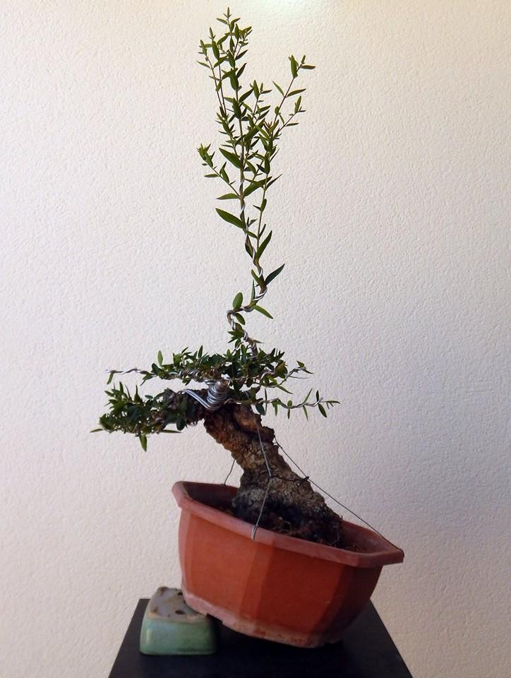 Labiernago ( Phillyrea latifolia ) 39005910
