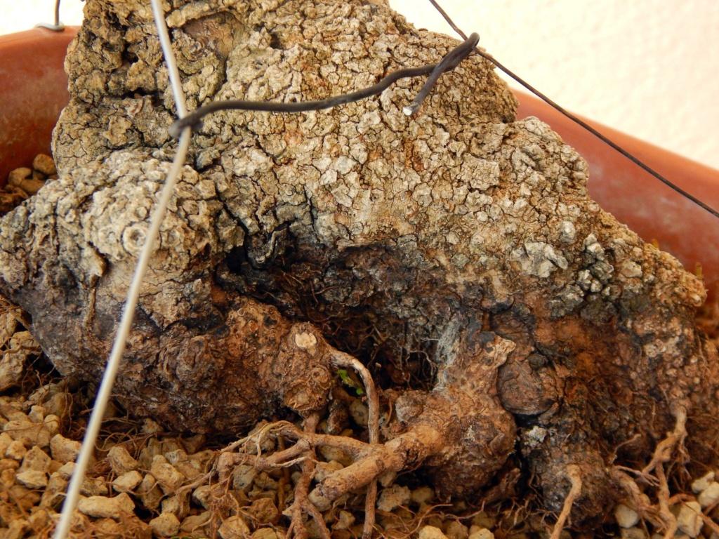 Labiernago ( Phillyrea latifolia ) 39051710