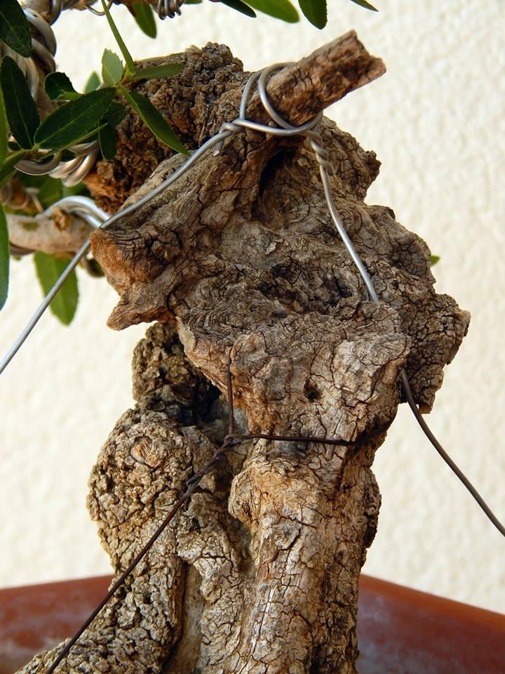 Labiernago ( Phillyrea latifolia ) 39056410