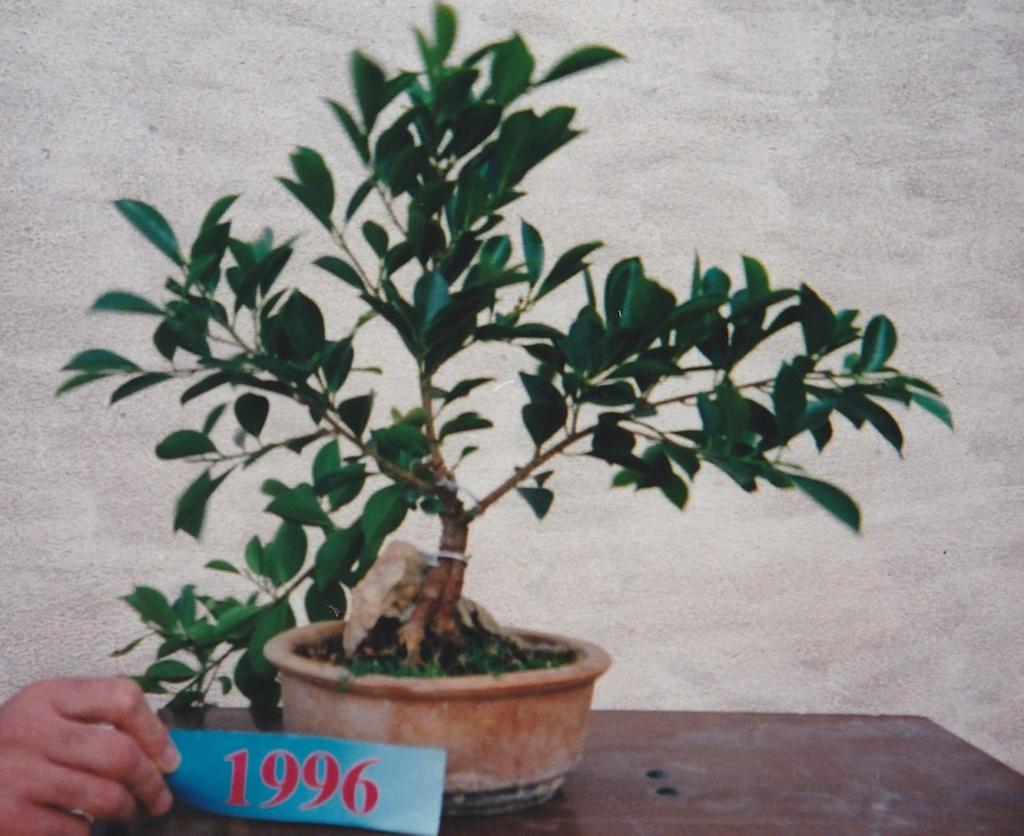 Evolución, Ficus Retusa (Ficus microcarpa, Ficus nitida). 39281310