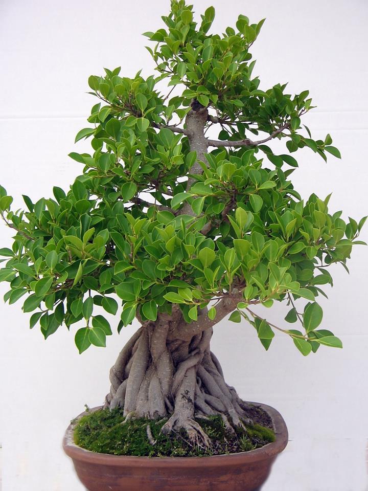 Evolución, Ficus Retusa (Ficus microcarpa, Ficus nitida). 39313110