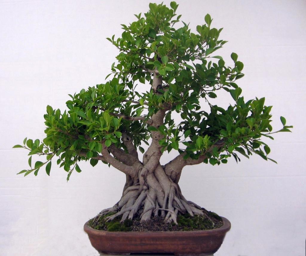 Evolución, Ficus Retusa (Ficus microcarpa, Ficus nitida). 39330710