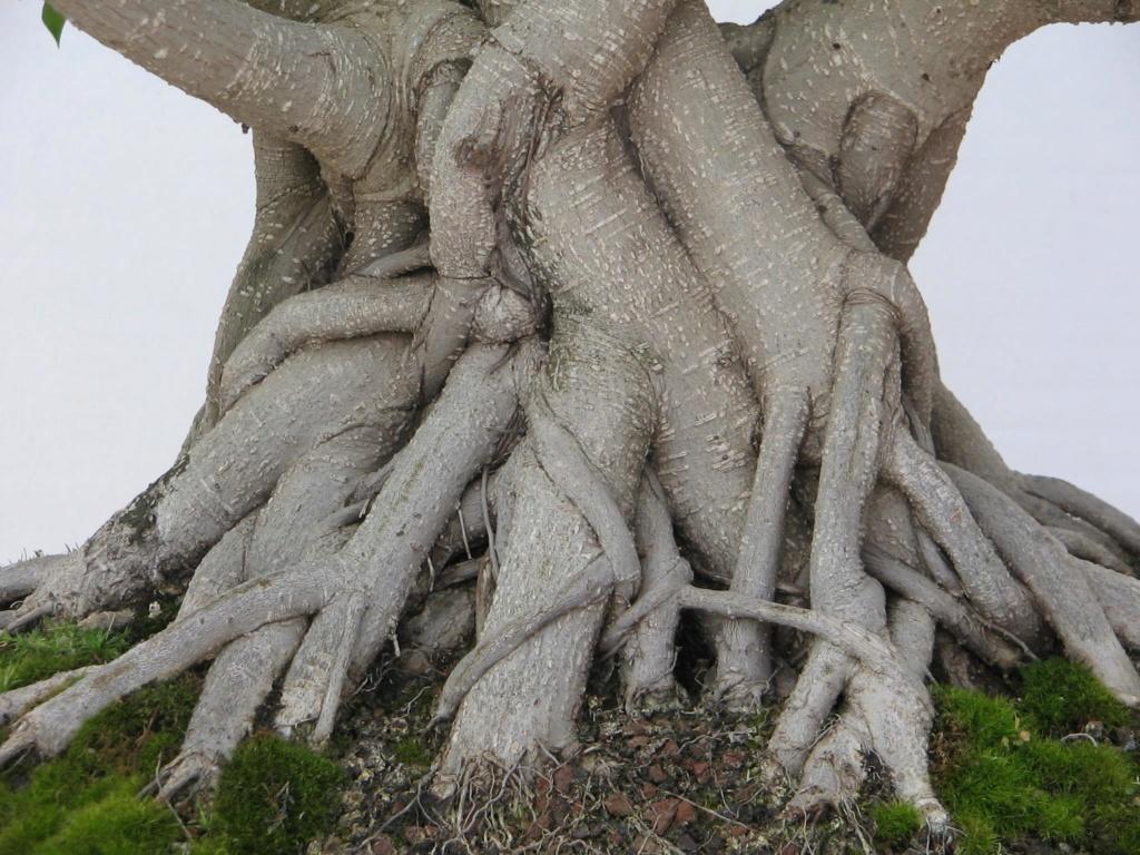 Evolución, Ficus Retusa (Ficus microcarpa, Ficus nitida). 39387210