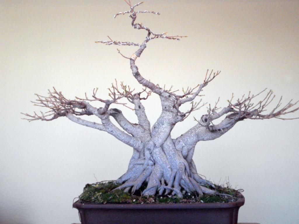 Evolución, Ficus Retusa (Ficus microcarpa, Ficus nitida). 39391910