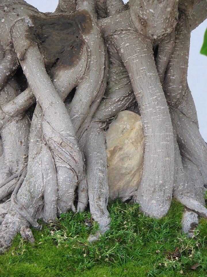 Evolución, Ficus Retusa (Ficus microcarpa, Ficus nitida). 39393110