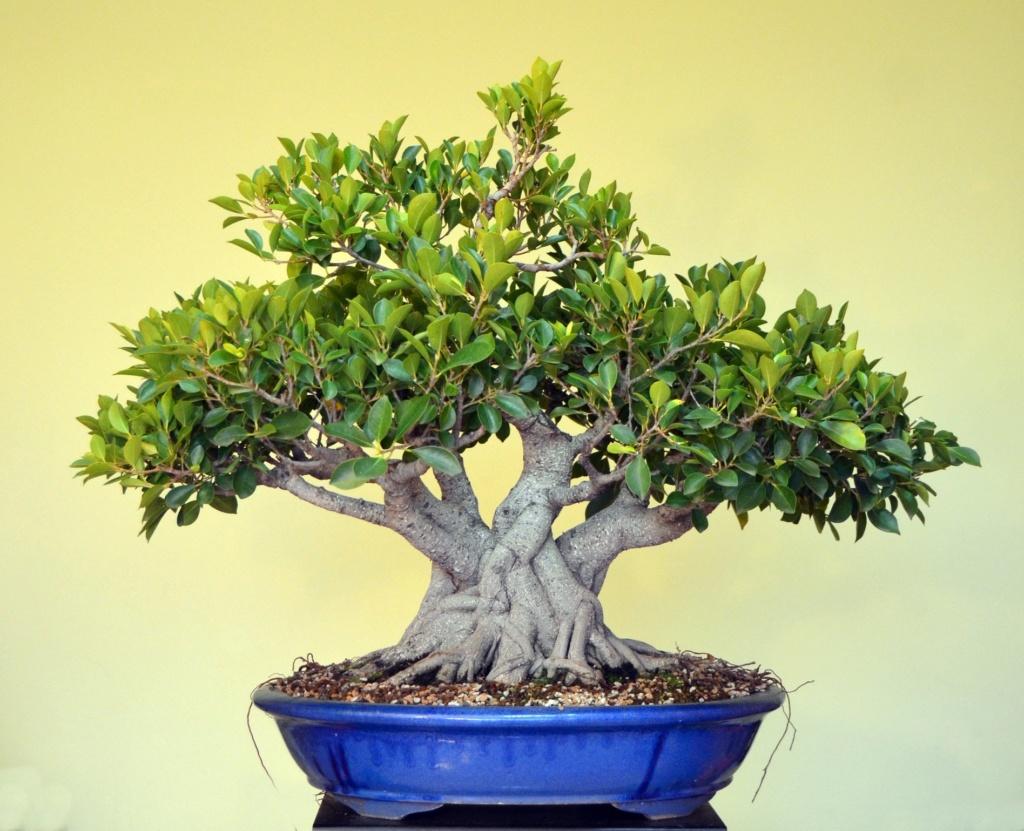 Evolución, Ficus Retusa (Ficus microcarpa, Ficus nitida). 39406210