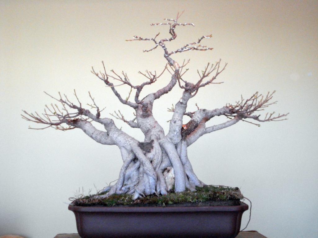 Evolución, Ficus Retusa (Ficus microcarpa, Ficus nitida). 39406610