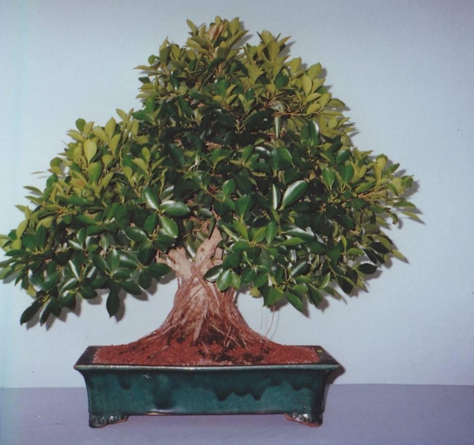 Evolución, Ficus Retusa (Ficus microcarpa, Ficus nitida). 39408310