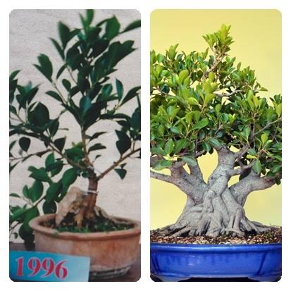 Evolución, Ficus Retusa (Ficus microcarpa, Ficus nitida). 39409110