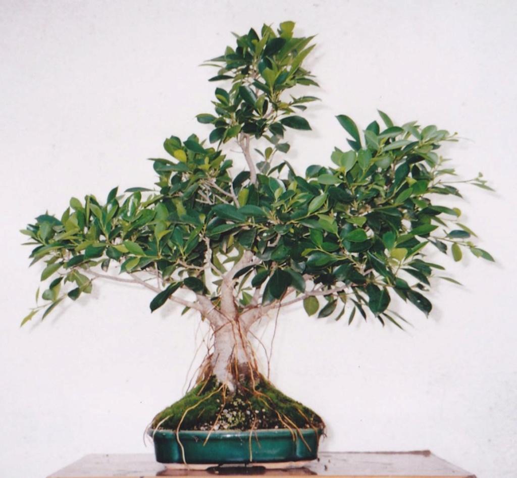 Evolución, Ficus Retusa (Ficus microcarpa, Ficus nitida). 39467310