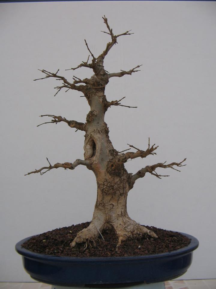 Fresno (Fraxinus excelsior L.) 53749010