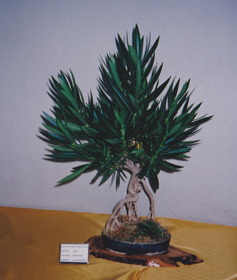 Adelfa como bonsái (Nerium oleander) 54235410