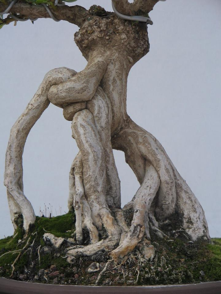 Adelfa como bonsái (Nerium oleander) 54300410