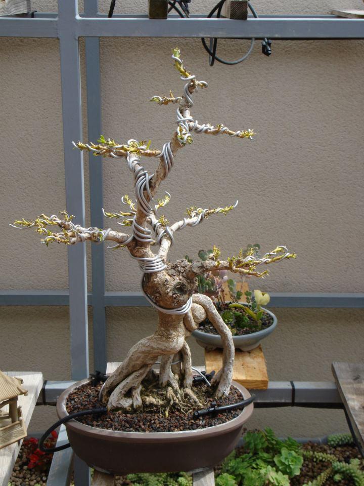 Adelfa como bonsái (Nerium oleander) 68411_10