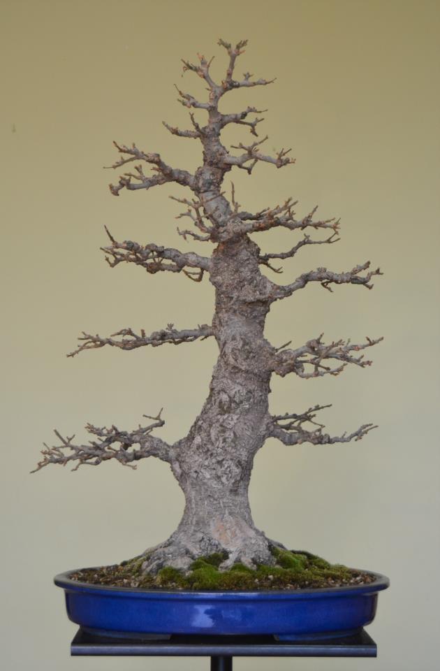 Fresno (Fraxinus excelsior L.) 68961_10