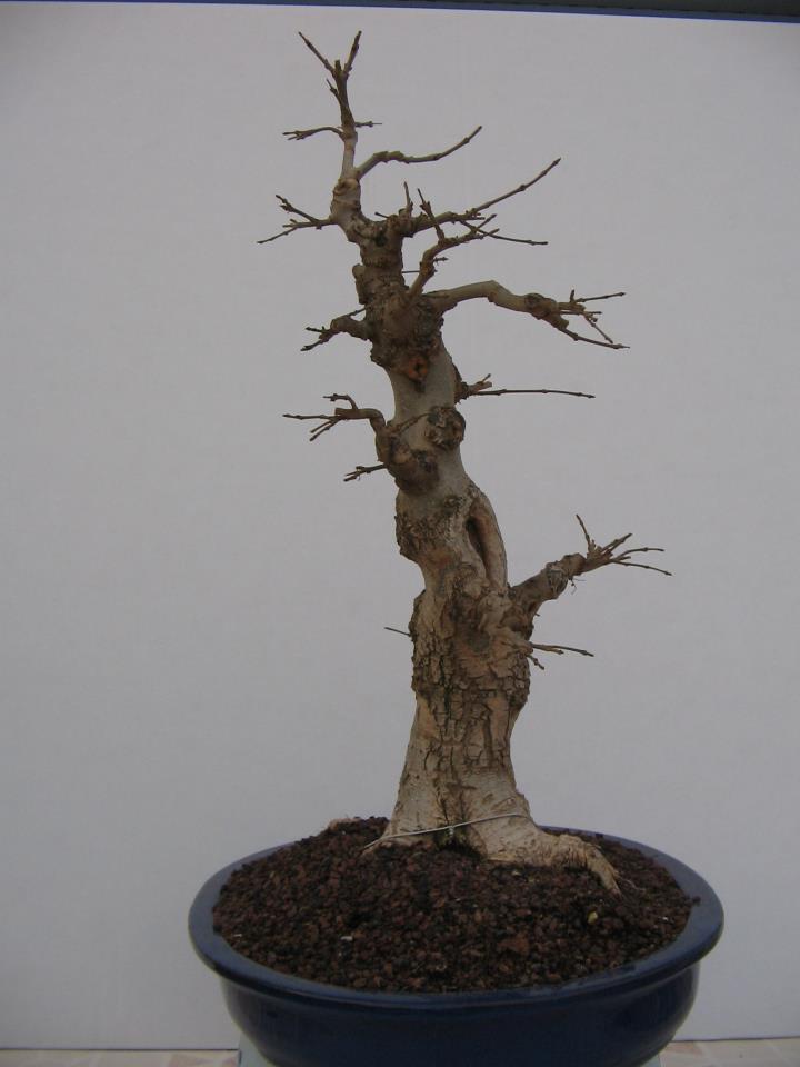 Fresno (Fraxinus excelsior L.) 8873_310