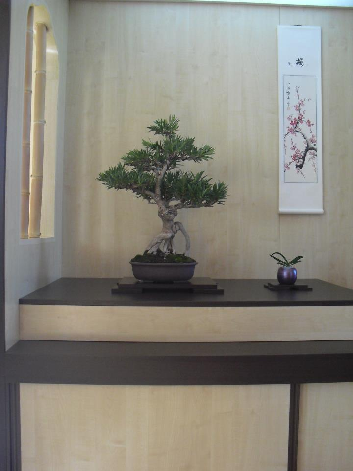 Adelfa como bonsái (Nerium oleander) Adelfa10