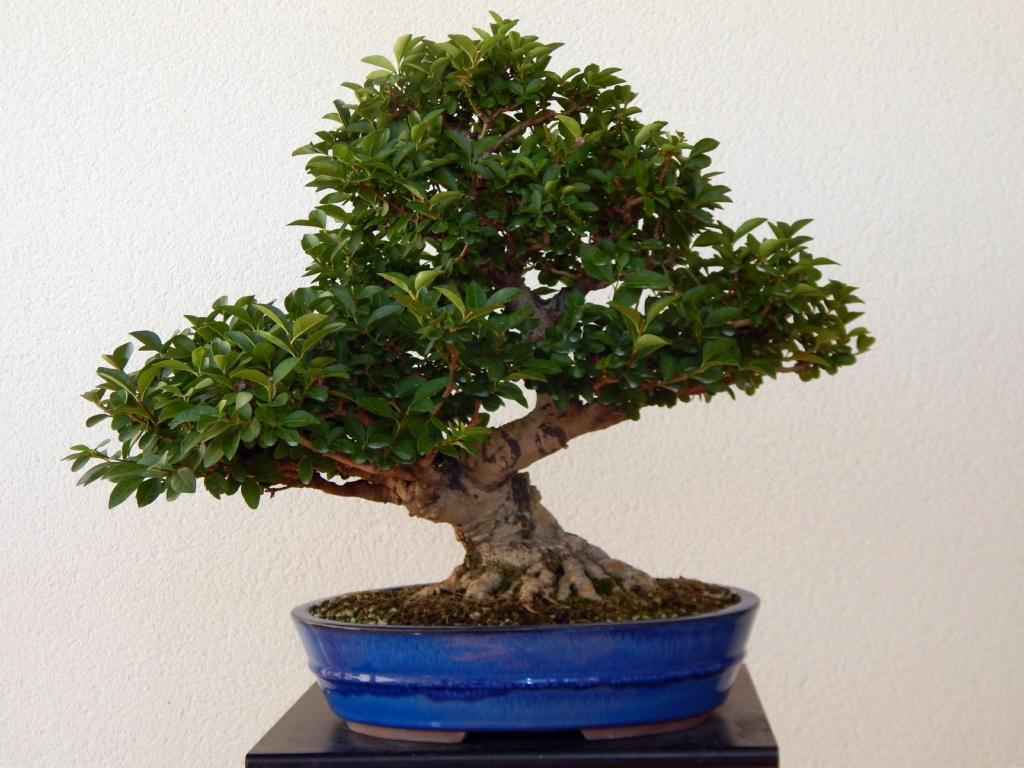 Ligustrum ovalifolium/ Aligustre de California, Oliveta Ligust10