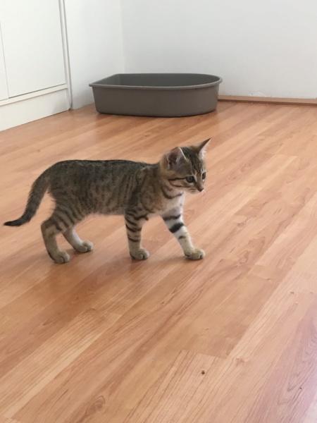 Orlan, chaton mâle brown tabby, né le 12.04.2018 4fce7710