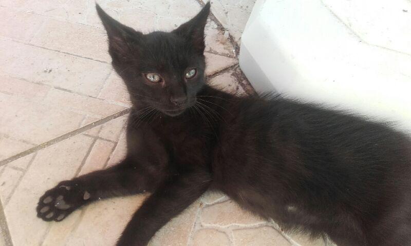 Oudini, chaton mâle noir, né le 12.04.2018 A886c610