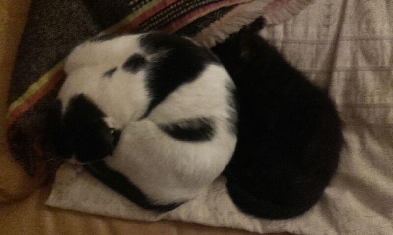 Oudini, chaton mâle noir, né le 12.04.2018 B2d92c10