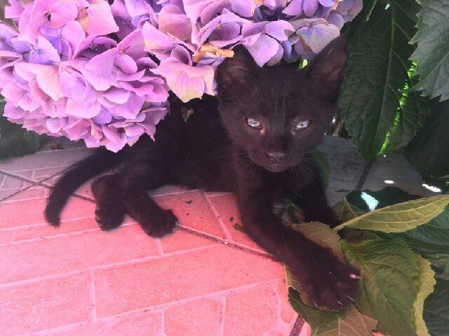 Oudini, chaton mâle noir, né le 12.04.2018 C4f13d10