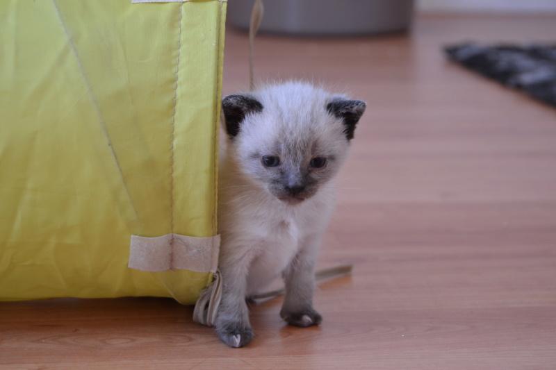 Ostral, chaton femelle type siamois, née le 02.04.2018 Dsc_0011