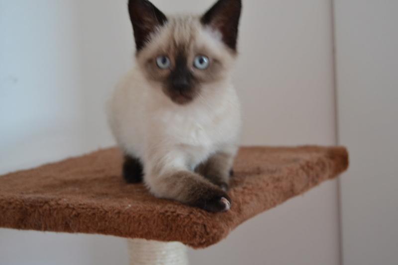 Ostral, chaton femelle type siamois, née le 02.04.2018 Dsc_0013