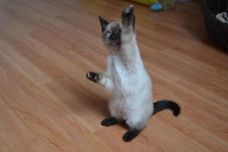 Ostral, chaton femelle type siamois, née le 02.04.2018 Dsc_0014