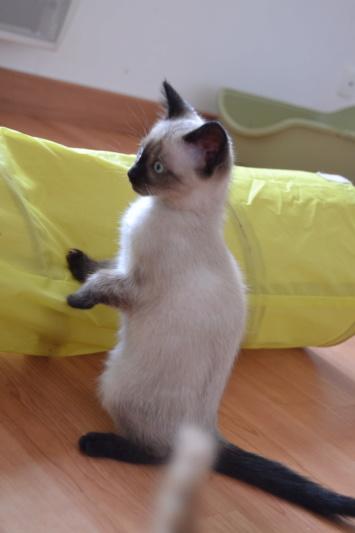 Ostral, chaton femelle type siamois, née le 02.04.2018 Dsc_0015