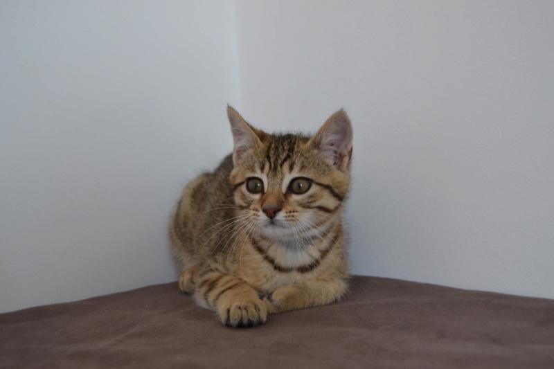 Orlan, chaton mâle brown tabby, né le 12.04.2018 Dsc_0076