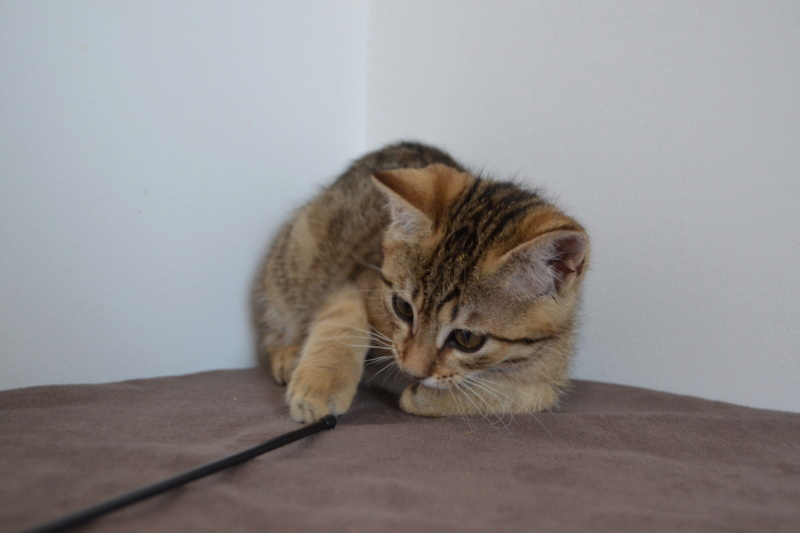 Orlan, chaton mâle brown tabby, né le 12.04.2018 Dsc_0077