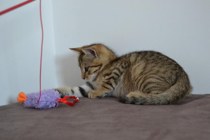 Orlan, chaton mâle brown tabby, né le 12.04.2018 Dsc_0081