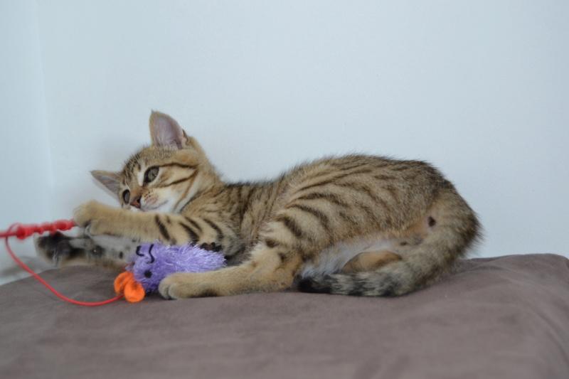 Orlan, chaton mâle brown tabby, né le 12.04.2018 Dsc_0082