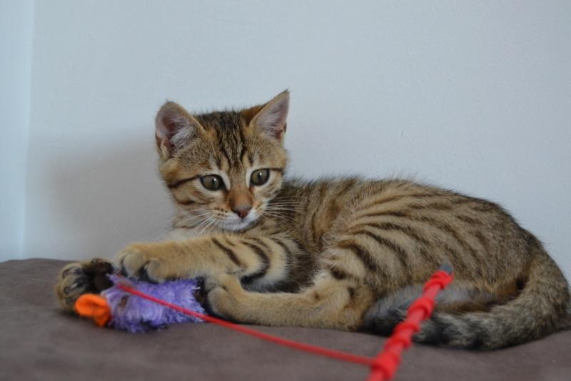 Orlan, chaton mâle brown tabby, né le 12.04.2018 Dsc_0084