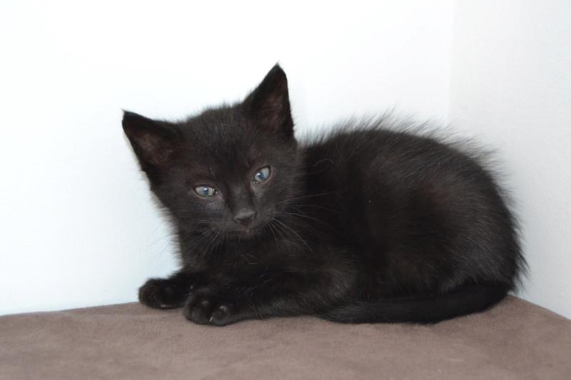Oudini, chaton mâle noir, né le 12.04.2018 Dsc_0085