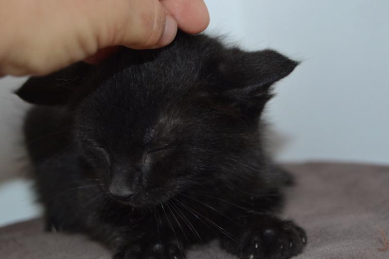 Oudini, chaton mâle noir, né le 12.04.2018 Dsc_0087
