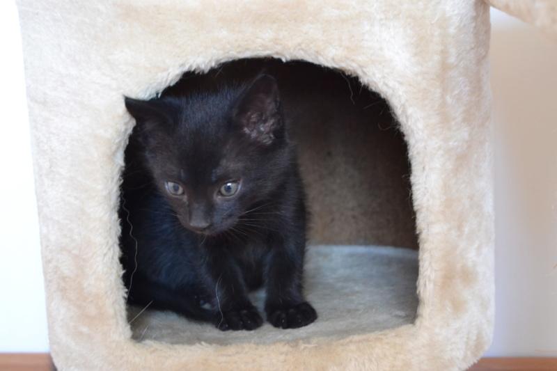 Oudini, chaton mâle noir, né le 12.04.2018 Dsc_0104
