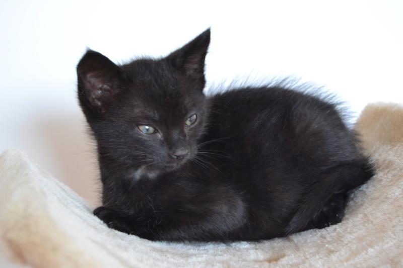Oudini, chaton mâle noir, né le 12.04.2018 Dsc_0105