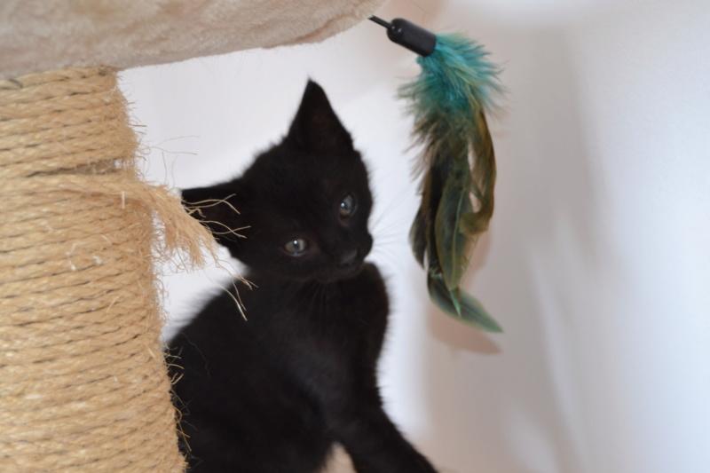 Oudini, chaton mâle noir, né le 12.04.2018 Dsc_0106