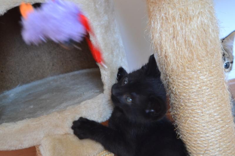 Oudini, chaton mâle noir, né le 12.04.2018 Dsc_0108