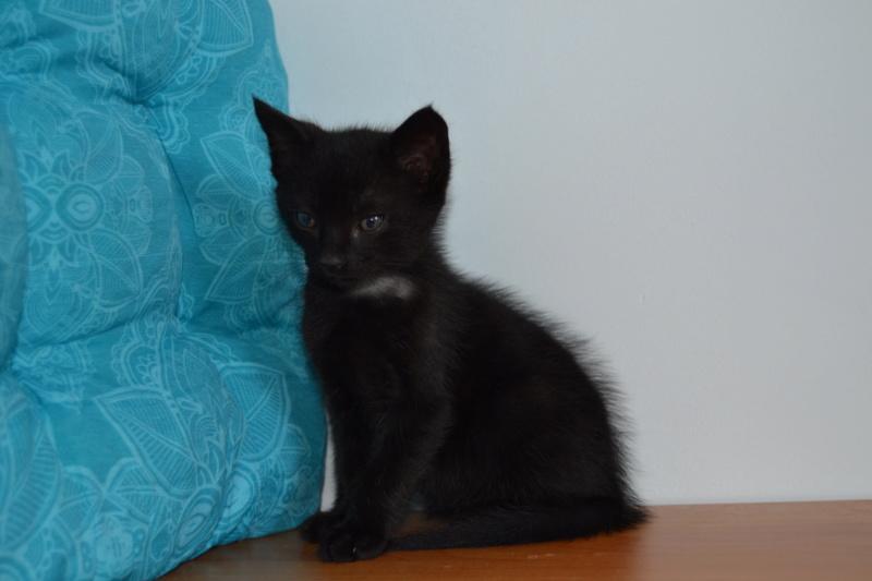 Oudini, chaton mâle noir, né le 12.04.2018 Dsc_0117