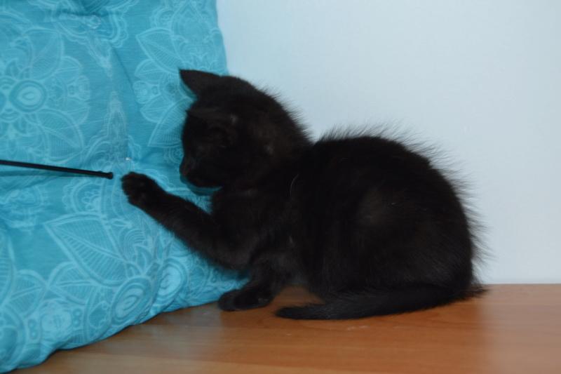 Oudini, chaton mâle noir, né le 12.04.2018 Dsc_0118