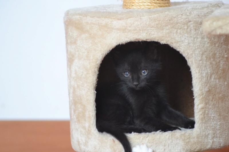 Oudini, chaton mâle noir, né le 12.04.2018 Dsc_0128